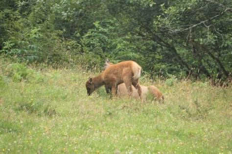 Elk Calf with Napping Mom