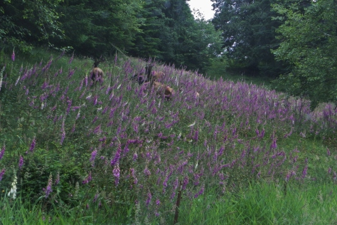 Field of Foxglove with Elk