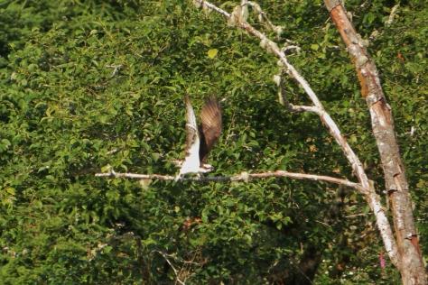 Osprey over Alea River - flying