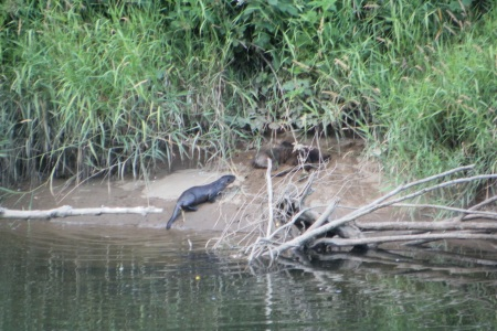 3 Alsea River Otters