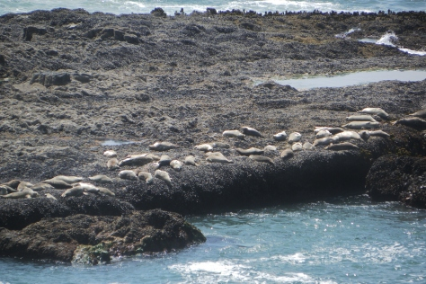 Yachats Harbor Seals