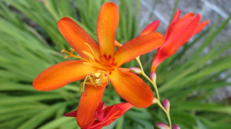 Columbia Lily with Yellow Spider
