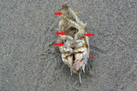 Sand Fleas Eating Mole Crab
