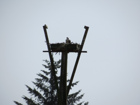 Young Osprey-WHS