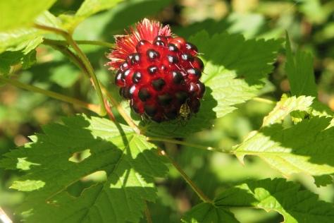 Ripe Salmonberry - Sweet