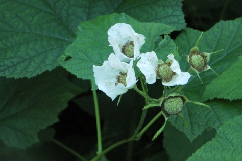 Flowering Thimbleberries