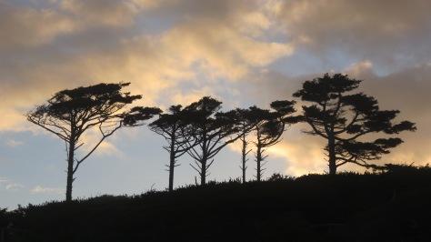 Tillicum Tree Silhouette