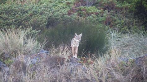 Tillicum Coyote - shying away