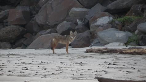 Tillicum Coyote - on the beach