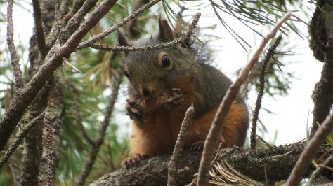 Tillicum Squirrel