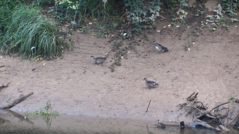 Wood Duck Females