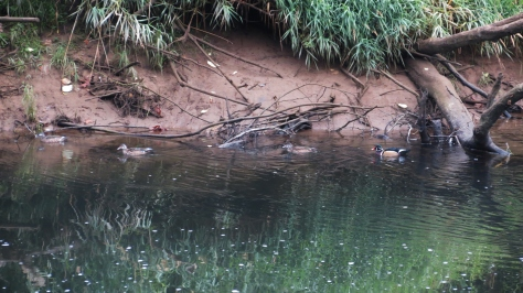 Wood Duck Harem