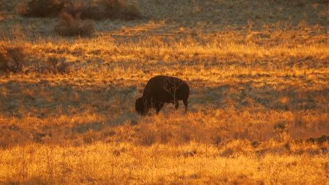 Antelope Island Bison