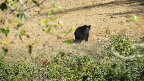 Bear on the Alsea River
