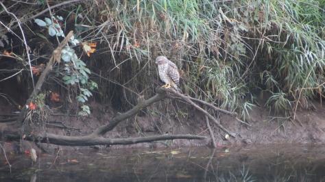 Hawk - Fishing