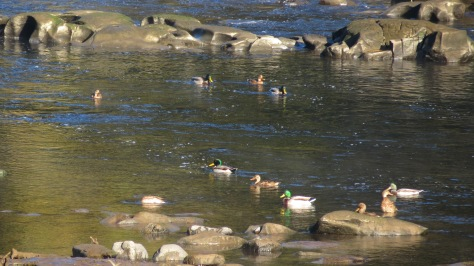 Mallards in Alsea Tidewater