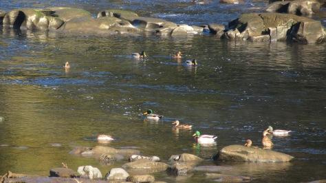 Mallards in Alsea Tidewater