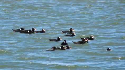 Surf Scoter Gaggle