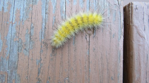 Yellow Catepillar