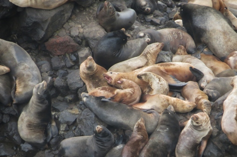 Branded Sea Lions - 8063 and 8329