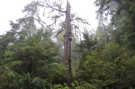 Cape Perpetua Snag with Faller