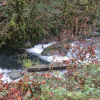 Salmon Spawning on the Alsea