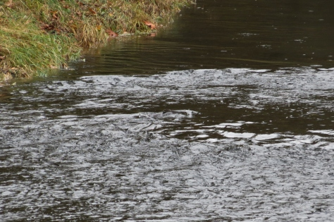 Spawning Salmon in the Alsea