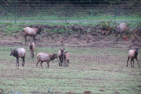 3 Elk Spikes