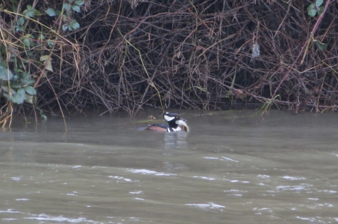 Hooded Merganser with Lunch
