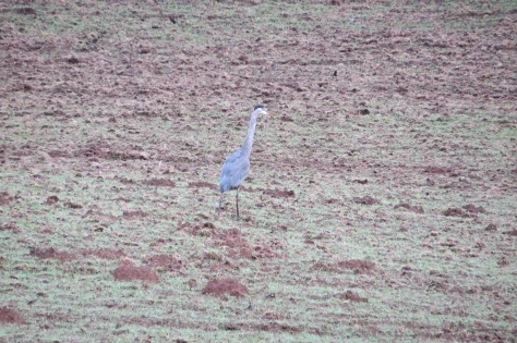 Blue Heron in Field