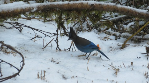 Stellar Jay In Snow