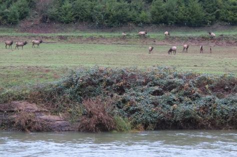 Tidewater Elk Herd