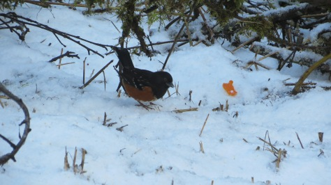Towhee In Snow