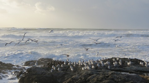 Seagulls, Oyster Catchers, Stormy