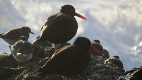 Yachats Oyster Catchers