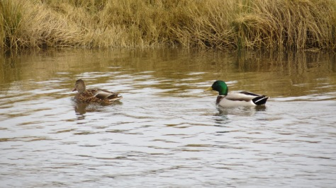 Mallards - Eckman Lake