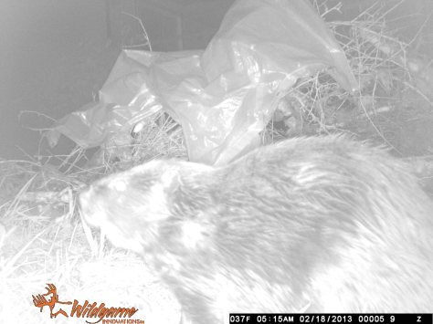 Beaver on GameCam