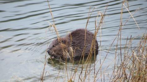 Beaver or Water Pig?