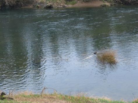 Beaver - Alsea River