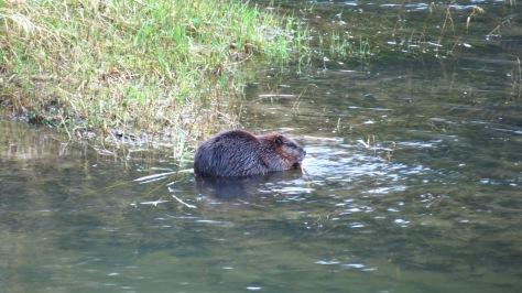 Beaver munching on bark