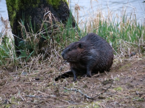 Beaver Coming Up the Alsea River Bank