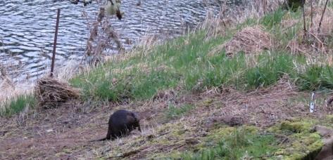 Beaver Climbing Alsea River Bank