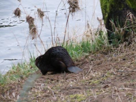 Beaver Running Away