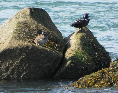 Harlequin Pair in Yaquina Bay