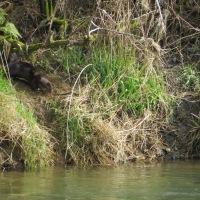 Alsea River Otter Family