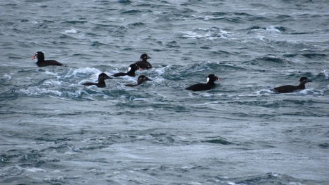 Surf Scoters - Yaquina Bay