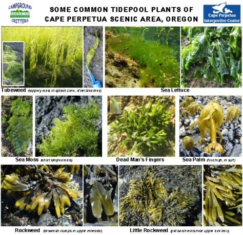 Cape Perpetua Tidepool Plants