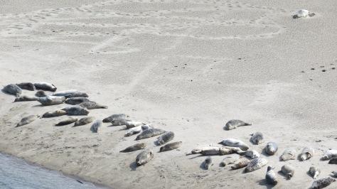 Alsea Bay Harbor Seal Colony