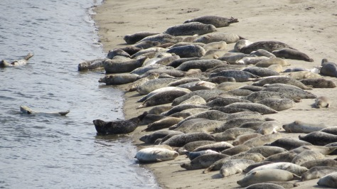 Seal Pups - Alsea Bay
