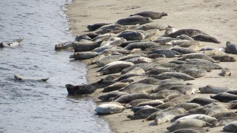 Seal Pups - Alsea Bay